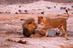 Orgullo magnífico de los leones que muestran el afecto en el waterhole Fotografía de archivo