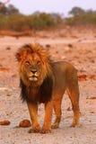 Orgullo magnífico del papá de los leones Fotografía de archivo