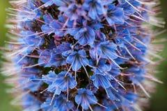 Orgullo púrpura de la foto del primer de la flor de Madeira con los estambres fotografía de archivo libre de regalías