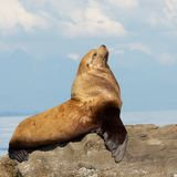 Orgullo y el león de mar Imagenes de archivo