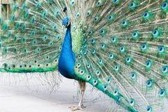 Orgulloso como pavo real Imagen de archivo libre de regalías
