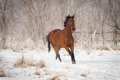 Orgulloso grande, caballo de bahía Fotos de archivo libres de regalías