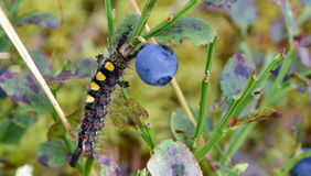 Orgyia Antiqua Ржавая гусеница сумеречницы Tussock на br голубики Стоковое фото RF