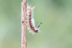 Orgyia antiqua caterpillar Stock Image