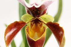 Orhchid flower Paphiopedilum isolated on white. Close up macro photo stock photo