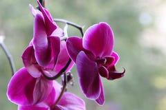 Orhid花-桃红色 库存照片