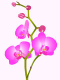 orhid цветка Стоковая Фотография RF