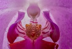 Orhid blomma i slut upp Arkivbilder