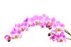 Orhid stock image