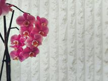 Infinite Purity. Orchid Pink Flower Royalty Free Stock Photos