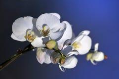 Orhids blancos Fotos de archivo libres de regalías