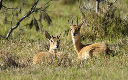 Oribi buck lying in the grass. Two male Oribi buck are lying in the grass in the veldt, baking in the sun and resting. The one male is mature and the other still stock photography