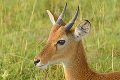 Oribi on the Plains of Africa Stock Image