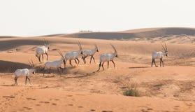 Orice arabo nel deserto dopo alba Il Dubai, Emirati Arabi Uniti Fotografia Stock Libera da Diritti