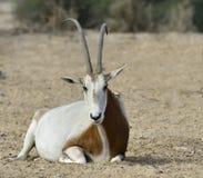 Orice della scimitarra del Sahara (leucoryx dell'orice) Immagine Stock