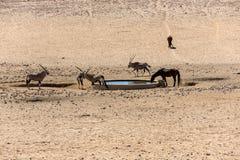 Orice e cavalli selvaggii all'acqua Immagini Stock