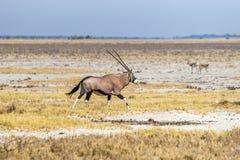 Orice, o gemsbok, funzionamento dell'antilope nella savana del parco nazionale di Etosha Fotografie Stock Libere da Diritti