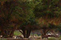 Orice in savana in Namibia fotografie stock