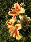 Orienpet杂种百合'蒙特哥贝'黄色桃红色与红酒污迹开花 库存图片