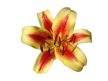 Orienpet-Hybridlilie u. x27; Montego Bay u. x27; gelb-rosa mit Rotweininspektion Lizenzfreie Stockfotografie