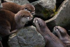 Orientał drapająca wydra (Amblonyx cinerea) zdjęcia stock