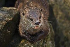 Orientał drapający wydrowy Amblonyx cinereus obrazy royalty free