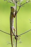 Orientał ogrodowa jaszczurka 1 (kameleon) fotografia stock