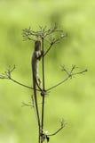 Orientał ogrodowa jaszczurka 5 (kameleon) zdjęcie stock