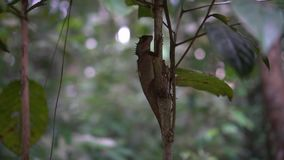 Orientał Ogrodowa jaszczurka na drzewie zdjęcie wideo
