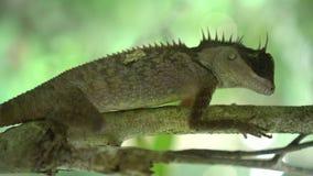 Orientał Ogrodowa jaszczurka na drzewie zbiory