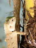 Orientał ogrodowa jaszczurka na gałąź Obraz Royalty Free