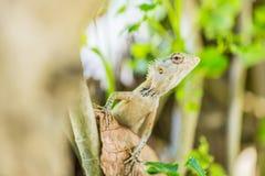 Orientał Ogrodowa jaszczurka, wschodnia ogrodowa jaszczurka lub changeable jaszczurka na skale przeciw zielonemu tłu w naturalnym zdjęcia stock