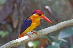 Orientała zimorodka Ceyx erithaca Karłowaci ptaki Tajlandia obrazy royalty free
