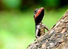 Orientał Ogrodowa jaszczurka Zdjęcie Stock