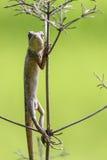 Orientał ogrodowa jaszczurka 4 (kameleon) Zdjęcia Royalty Free