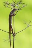 Orientał ogrodowa jaszczurka 7 (kameleon) Obraz Stock