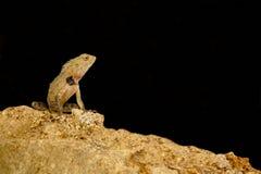 Orientał ogrodowa jaszczurka od Srilanka Fotografia Stock