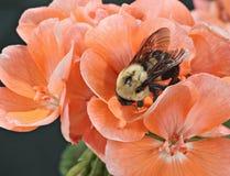 Orientais comuns Bumble a abelha (os impatiens do Bombus) fotografia de stock royalty free