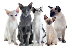 Free Oriental And Siamese Cats Royalty Free Stock Photo - 23746605