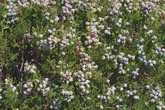 Oriental arborvitae shrub with cones. Platycladus orientalis Stock Photos