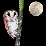 Oriental bay owl Royalty Free Stock Images