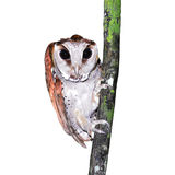 Oriental bay owl Royalty Free Stock Photography