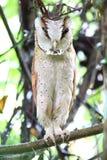 Oriental bay owl Royalty Free Stock Image