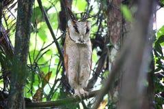 Oriental bay owl Stock Image