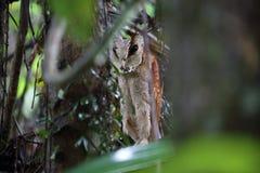 Oriental bay owl Royalty Free Stock Photos