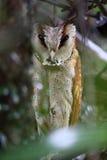 Oriental bay owl Royalty Free Stock Photo