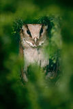 Oriental Bay-owl, Phodilus badius, little owl in the nature habitat, sitting on the green spruce tree branch, forest in the backgr Stock Photography