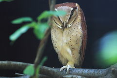 Oriental bay owl Stock Photo
