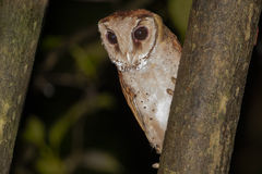 Oriental Bay Owl on Tree Trunk at Night Stock Images