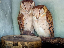 Oriental bay owls Stock Images